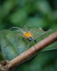 Oxyopes salticus, a species of lynx spider, commonly known as the striped lynx spider