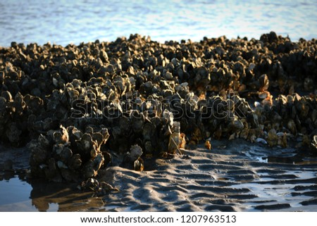 Oyster Bed at Morris Island Lighthouse  #1207963513