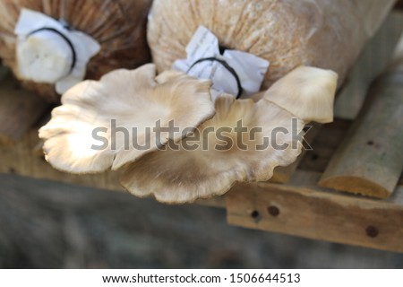 Oyster Mushroom Cultivation, has become one of the alternative livelihoods on the island of Lombok in the context of the economic transformation of the people after the earthquake disaster struck.