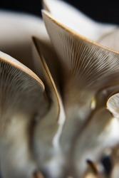Oyster Mushroom on a dark background,  close up, macro oyster mushroom, macro mushroom, abstract food