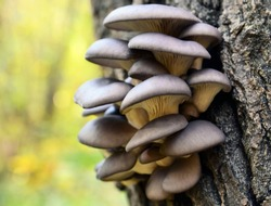 Oyster mushroom (Pleurotus ostreatus) grows on a tree bark in the forest. Organic vegetable food concept. Selective focus.