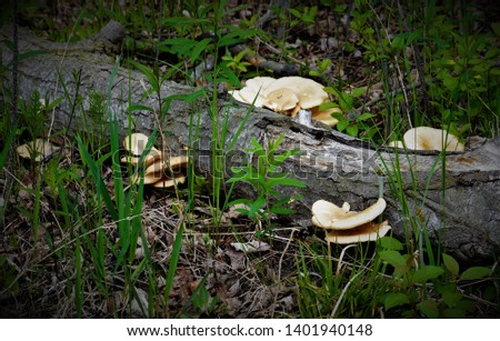 Oyster Mushroom (Pleurotus ostreatus) is a wild, edible fungi. Identify oyster mushroom via pictures, habitat, height, spore print, gills and color.