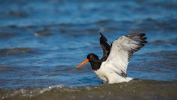 Oystercatcher washes his plumage in the sea water. It was a very warm day on the island of Helgoland. Plumage care is important for survival.