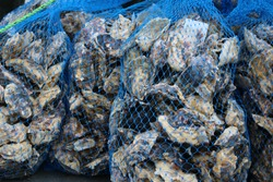 Oysters in blue netting, just caught in the Baynes Sound, Fanny Bay, Vancouver Island, BC, Canada