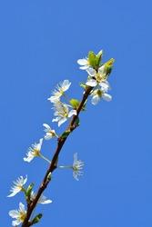Ozark Premier Plum flowers - Latin name - Prunus salicina Ozark Premier