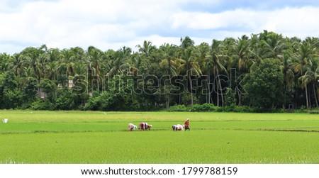 paady field and paddy seedling Zdjęcia stock ©