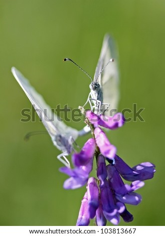 Paarung des KohlweiÃ?Â?lings,cabbage white butterfly sitting on a purple blossom,Pairing of two cabbage white butterfly,