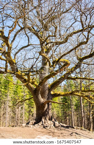 Paavola oak (Paavolan Tammi), old oak tree, Lohja Finland Zdjęcia stock ©