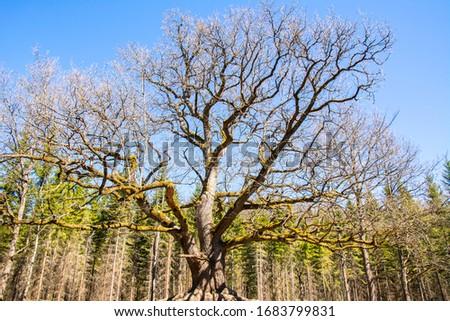 Paavola oak (Paavolan Tammi), old oak tree, Lohja, Finland Zdjęcia stock ©