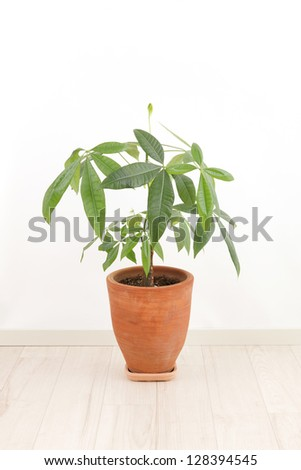 Pachira pots in the room