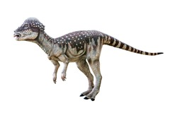 Pachycephalosaurus is a herbivore genus of Pachycephalosaurid dinosaurs, has an extremely thick skull and lived during the late Cretaceous Period isolated on white background with clipping path