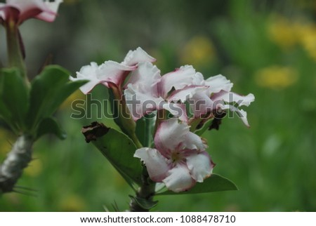 Pachypodium It is a plump wood like the dry like a barbed with thorns. The flowers are pink and blossoming, blossoming, blossoming and full bloom.