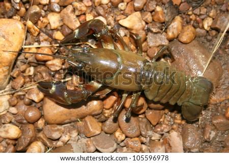 Pacifastacus leniusculus. Signal Crab, Pacific Crab