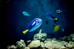 Pacific Blue Royal Tang Fish Swimming in an Aquarium together with other fishes
