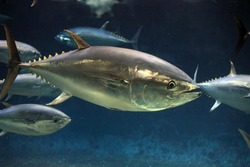 Pacific bluefin tuna (Thunnus orientalis) in Japan