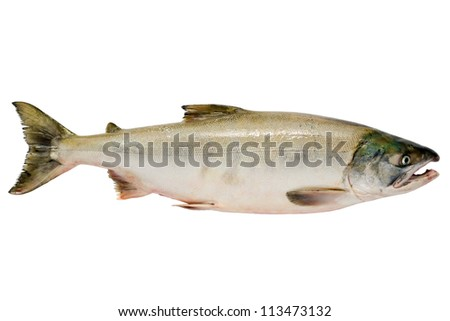 Pacific chum salmon, fresh caught mature male.