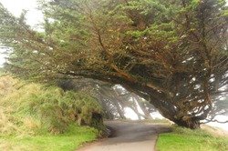 Pacific coast tree in fog with winding road at Point Reyes, California
