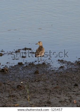 Pacific Golden Plover looking for food - stock photo