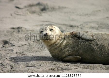 Pacific harbor seal dozing on beach in Oregon