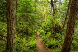 Pacific Northwest Hiking Trail Through a Rain Forest Environment. A beautiful, lush trail lined with sword ferns, fir, and cedar trees during the springtime jolt of greenery.