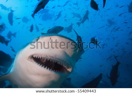 stock-photo-pacific-ocean-big-toothy-grin-of-very-dangerous-bull-shark ...