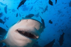Pacific ocean. Closeup portrait of big toothy grin of very dangerous bull-shark shoot at 30 m depth. Very close.
