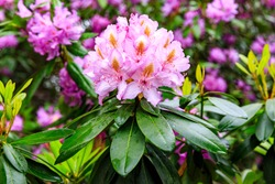 Pacific rhododendron (Rhododendron macrophyllum), blooming time at the rhododendron park Kromlau, saxony, Germany