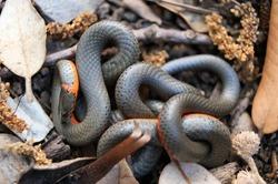 Pacific ring-necked snake. Santa Clara County, California, USA.