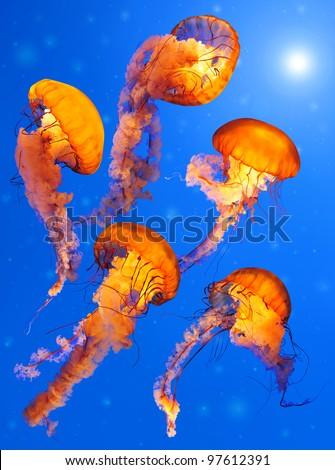Pacific Sea Nettle Jellyfishes (Chrysaora quinquecirrha)