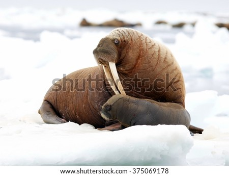 pacific walrus
