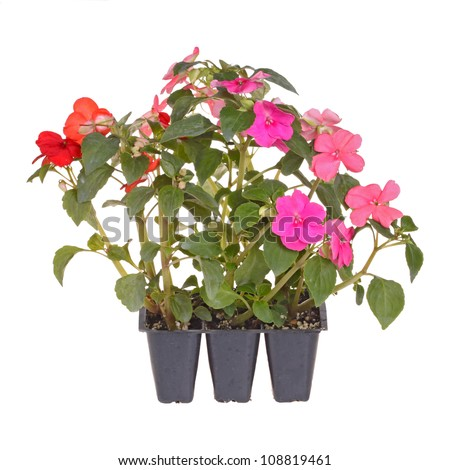 Pack containing three seedlings of impatiens plants (Impatiens wallerana) flowering in pink, red and orange ready for transplanting into a home garden isolated against a white background