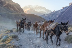 Pack mules descending from the mountains. Aconcagua National Park.