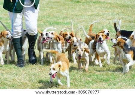 Pack of Beagles out hunting #305070977