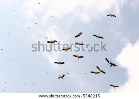 Pack of birds in the sky(storks)
