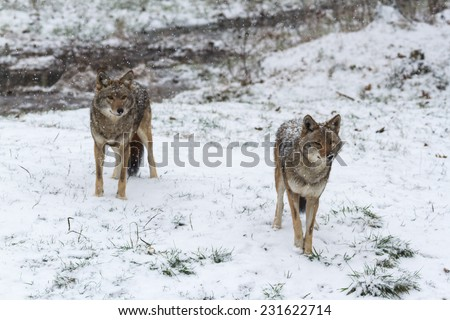 Pack of coyotes in winter