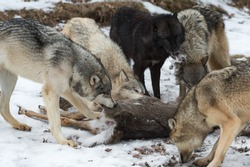 Pack of Grey Wolves (Canis lupus) Pull Fur Off White-Tail Deer Carcass Winter - captive animals