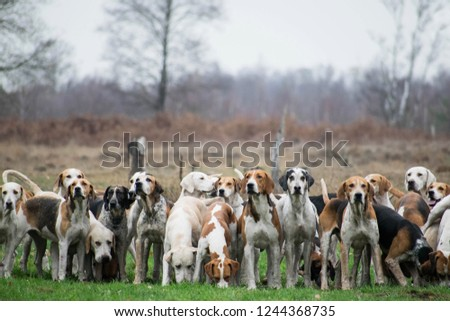 Pack of hunting hounds waiting in line to start the scent trail. Fox hunt scene. Netherlands, Dutch landscape. Dogs standing in line looking towards camera.  #1244368735