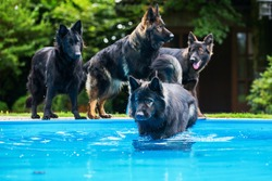 pack of old German shepherd dogs at the swimming-pool