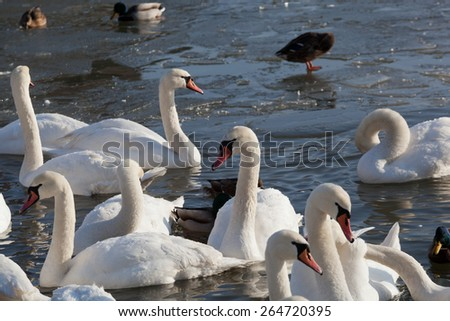 pack of white swans floats in the river in the winter