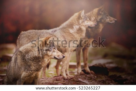 Pack of Wolf in the Autumn Forest Watching Something in the Distance on the Blurred Background  #523265227