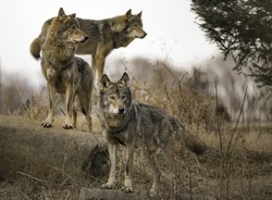 Pack of Wolves