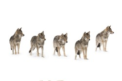 pack of wolves  (canis lupus) isolated on snow on a white background
