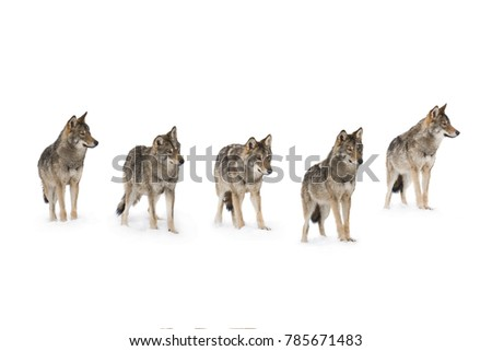 pack of wolves  (canis lupus) isolated on snow on a white background #785671483