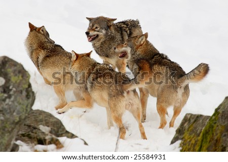 Pack of wolves in the snow