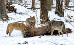 Pack of wolves vs. Herd of European bison (Bison bonasus) near dead young bison cub in the forest of Belarus