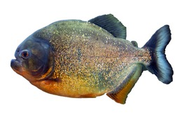 Pacu fish piranha (Colossoma macropomum) on white background. Captive occurs in South America.
