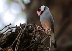 Padda oryzivora - Java Sparrow, bird sitting on a branch of a tree, its habitat - selective focus