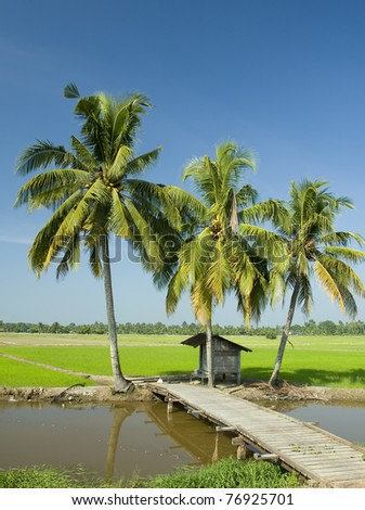paddy farm and coconut trees