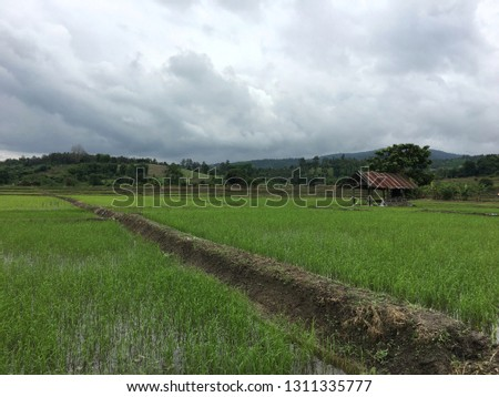 Paddy field and paddy field ridge with mountain view on a cloudy day #1311335777