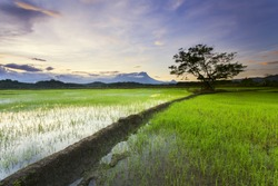 Paddy Field and the Kinabalu Mountain, Sabah - Malaysia for the background..